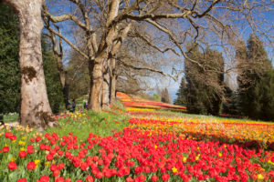 Tulip blossom in spring on the island Mainau, Lake Constance, Baden-Wuerttemberg, Germany