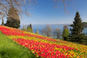 Tulpenblüte im Frühjahr auf der Insel Mainau mit Blick über den Bodensee zu den Alpen, Bodensee, Baden-Württemberg, Deutschland