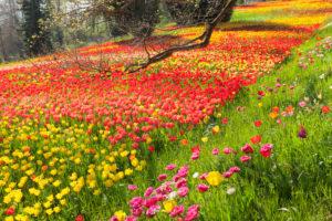 Tulpenblüte im Frühjahr auf der Insel Mainau, Bodensee, Baden-Württemberg, Deutschland