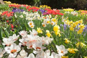 Insel Mainau im Frühling mit Tulpen, Narzissen und Hyazinthen, Bodensee, Baden-Württemberg, Deutschland