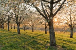 Kirschblüte in Obereggenen, Eggener Tal, Markgräfler Land, Schwarzwald, Baden Württemberg, Deutschland