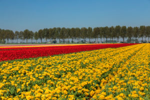 Flower fields in spring, South Holland, Netherlands