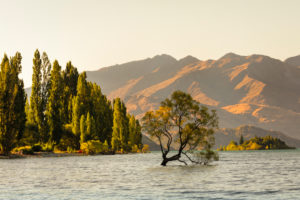 Willow in Lake Wanaka at sunset, Mount Aspiring National Park, UNESCO World Heritage Site, Otago, South Island, New Zealand, Oceania