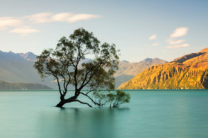 Willow in Lake Wanaka, Mount Aspiring National Park, UNESCO World Heritage Site, Otago, South Island, New Zealand, Oceania