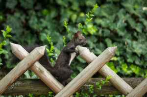 Squirrels (Sciurus vulgaris), melanistic animal, red squirrel,  rustic fence, Stuttgart, Baden-Wurttemberg, Germany