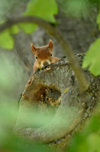 Eurasian red squirrel (Sciurus vulgaris), look naughty out of a trunk, Stuttgart, Baden-Wurttemberg, Germany