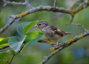 Female house sparrow, Passer domesticus, Stuttgart, Baden-Wuerttemberg, Germany