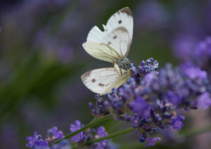 Small cabbage white (Pieris rapae) on real lavender (Lavandula angustifolia), mating,