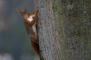 European squirrel (Sciurus vulgaris) at trunk, Stuttgart, Baden-Wurttemberg, Germany