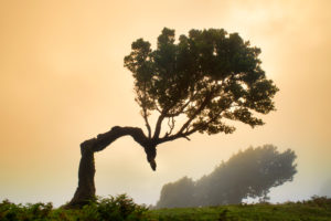Old laurel forest, also Laurissilva forest, with stinkberry trees (Ocotea foetens), in fog at sunrise, Fanal, Madeira island, Portugal
