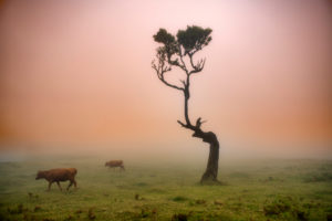 Cows and cattle, old laurel forest, also Laurissilva forest, with stinkberry trees (Ocotea foetens), in the fog at sunrise, Fanal, Madeira island, Portugal