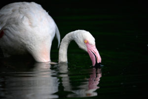 Greater Flamingo (Phoenicopterus ruber roseus), food intake, captive