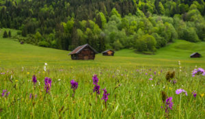 Wild flower meadow at the Geroldsee, near Krün, Werdenfelser Land, Upper Bavaria, Bavaria, Germany