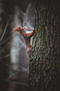 Germany, Saxony, Chemnitz, squirrel