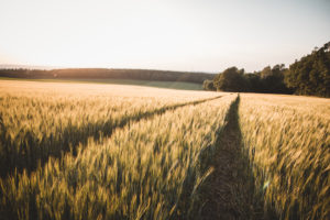 Germany, Saxony, Dittersdorf, wheat field, sunset
