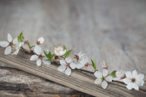Plum blossoms on wooden board, close-up, still life