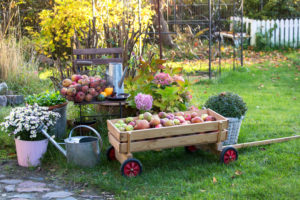 autumnal country house garden with small wooden cart full of apples