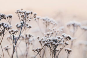delicate winterly plants with hoarfrost in a soft pastel morning light