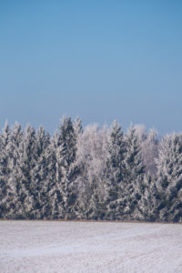 Snow-covered conifers on a cold winter's day in rural north Germany with snow covered trees and clear blue sky