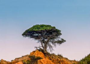 Single pine tree on the Portuguese Algarve coast in warm evening light