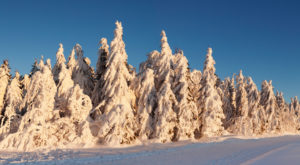 Winter scenery with snow covered firs at sundown, Schauinsland, Black Forest, Baden-Wurttemberg, Germany