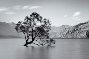 Willow in Lake Wanaka, Mount Aspiring National Park, UNESCO World Heritage Site, Otago, South Island, New Zealand, Oceania