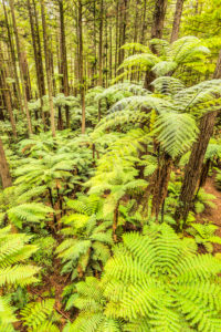 The Redwoods in Whakarewarewa Forest, Rotorua, Bay of Plenty, North Island, New Zealand, Oceania