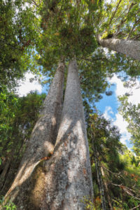 Kauri trees (Agatihis), Kauri Grove Lookout Walk, Waitako, Coromandel Peninsula, North Island, New Zealand, Oceania