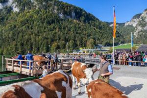 Almabtrieb am Königssee von der Saletalm der Familie Resch bei der Ankunft in Schönau, Berchtesgadener Land, Oberbayern, Bayern, Süddeutschland, Deutschland, Europa