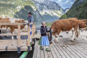 Almabtrieb am Königssee von der Saletalm der Familie Resch, Schönau, Berchtesgadener Land, Oberbayern, Bayern, Süddeutschland, Deutschland, Europa