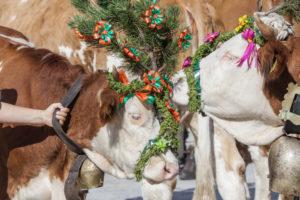Aufkranzen der Kühe bei der Ankunft in Schönau, Almabtrieb am Königssee von der Saletalm der Familie Resch, Berchtesgadener Land, Oberbayern, Bayern, Süddeutschland, Deutschland, Europa