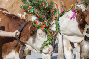 Aufkranzen', adornment of the cows on arrival in Schönau, cattle drive ('Almabtrieb') at Königssee, Saletalm (owned by the Resch family), Berchtesgadener Land, Upper Bavaria, Bavaria, southern Germany, Germany, Europe