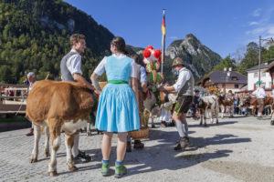 Aufkranzen der Kühe beim Almabtrieb am Königssee der Saletalm der Familie Resch, Ankunft in Schönau, Berchtesgadener Land, Oberbayern, Bayern, Süddeutschland, Deutschland, Europa