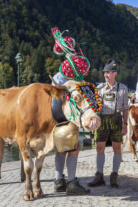 Aufkranzen', adornment of the cows at the cattle drive ('Almabtrieb') at Königssee, Saletalm (owned by the Resch family), arrival in Schönau, Berchtesgadener Land, Upper Bavaria, Bavaria, southern Germany, Germany, Europe