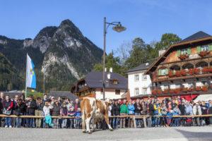 Aufkranzen der Kühe nach der Ankunft in Schönau, Almabtrieb am Königssee von der Saletalm der Familie Resch, Berchtesgadener Land, Oberbayern, Bayern, Süddeutschland, Deutschland, Europa