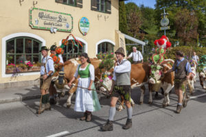 Cattle drive of the cows from Schönau to the farm Rennerlehen, cattle drive ('Almabtrieb') at Königssee of the Resch family, Berchtesgadener Land, Upper Bavaria, Bavaria, southern Germany, Germany, Europe
