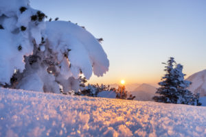 Mountain pine in the snow at the Herzogstand, view on Ester mountains, Walchensee, Bavarian Prealps, Upper Bavaria, Bavaria, southern Germany, Germany, Europe