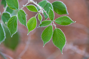 Blackberry leaves with rime in winter, Bavaria, Germany