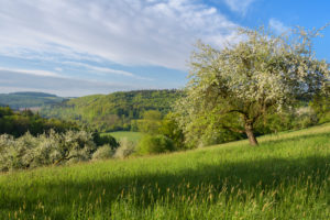 Blooming apple trees in the meadow in spring, Reicholzheim, Wertheim, Taubertal, Tauberfranken, Main-Tauber-district, Baden-Württemberg, Germany