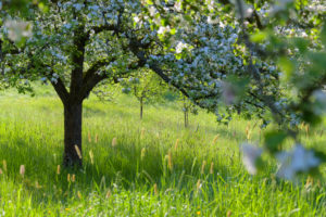 Blooming apple tree in the meadow in spring, Reicholzheim, Wertheim, Taubertal, Tauberfranken, Main-Tauber-district, Baden-Württemberg, Germany