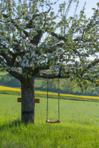 Blooming apple tree with swing in the meadow in spring, Reicholzheim, Wertheim, Taubertal, Tauberfranken, Main-Tauber-district, Baden-Württemberg, Germany