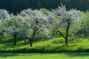 Blooming apple trees in the meadow in spring, Werbach, Taubertal, Tauberfranken, Main-Tauber-district, Baden-Württemberg, Germany