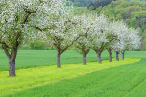 blooming apple trees in the meadow, Werbach, Taubertal, Tauberfranken, Main-Tauber-district, Baden-Württemberg, Germany