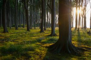 Beech tree in forest at sunset, Ghost Forest (Gespensterwald), Nienhagen, Baltic Sea, Western Pomerania, Mecklenburg-Vorpommern, Germany