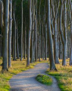 Winding footpath in coast forest at sunset, Ghost Forest (Gespensterwald), Nienhagen, Baltic Sea, Western Pomerania, Mecklenburg-Vorpommern, Germany