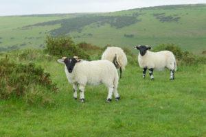 Sheep on meadow, Dartmoor, Devon, England, United Kingdom, Europe