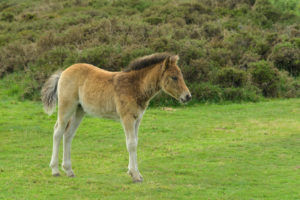 Dartmoor-Pony wild horses foal on meadow, Dartmoor, Devon, South West England, England, United Kingdom, Europe
