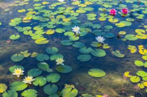 Water lily pond in summer, Mörbisch am See, Burgenland, Austria