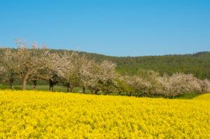 Apfelbaum, Baumreihe, Rapsfeld, Blüte, Frühling, Schmachtenberg, Spessart, Bayern, Deutschland