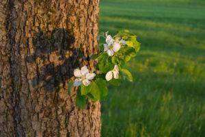 Apfelbaum, Blüte, Frühling, Schmachtenberg, Spessart, Bayern, Deutschland